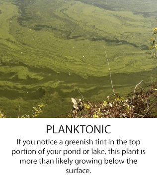 planktonic