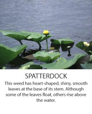 Spatterdock