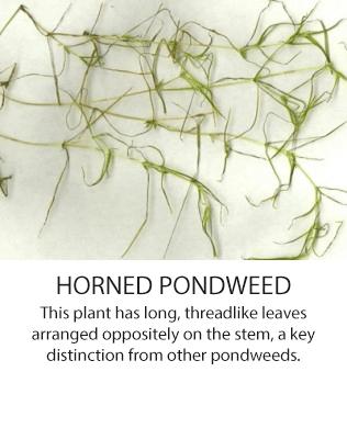 HornedPondweed