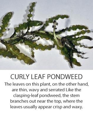 curlyleafpondweed