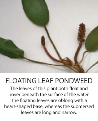 floatingleadpondweed